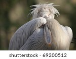 dalmatian pelican  pelecanus... | Shutterstock . vector #69200512