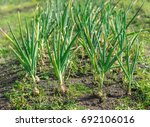 onions growing in a garden ...   Shutterstock . vector #692106016