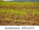 Fresh new sprouts of corn grow in endless fields - stock photo
