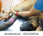 Small photo of Great Dane dog is sick and admit in the pet hospital with good care of veterinarians and he has an injection