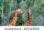 2 giraffes playing