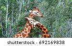 2 giraffes playing necks | Shutterstock . vector #692169838