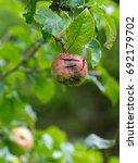 damaged apple growing on an... | Shutterstock . vector #692179702
