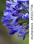 Small photo of Agapanthus flower
