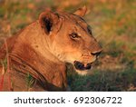 Side Profile Of A Lone Lioness...