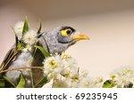 noisy miner bird close up | Shutterstock . vector #69235945