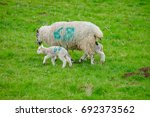 Mother Sheep And Her Baby On...