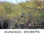 A Male Barn Swallow Sitting On...