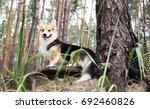 dog breed welsh corgi pembroke... | Shutterstock . vector #692460826