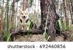 dog breed welsh corgi pembroke... | Shutterstock . vector #692460856