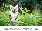 dog breed welsh corgi pembroke... | Shutterstock . vector #692461846
