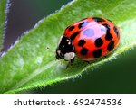 Multicoloured Asian Ladybird  ...