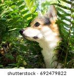 dog breed welsh corgi pembroke... | Shutterstock . vector #692479822