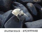espa ola island  galapagos  ... | Shutterstock . vector #692499448