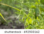 Green Pods Of Chickpeas Grow O...