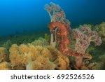 thorny seahorse. this is a ... | Shutterstock . vector #692526526