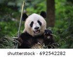 panda bear munching eating... | Shutterstock . vector #692542282