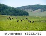 Grazing Herd Of Cows In The...