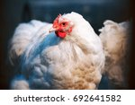 Small photo of Friendly white hen in a farmyard is a good egg producer as well as keeping worms and bugs under control