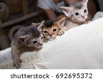Stock photo cute kittens little purebred abyssinian kittens in the basket playing together ruddy abyssinian 692695372