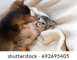 Stock photo cute kittens little purebred abyssinian kittens in the basket playing together ruddy abyssinian 692695405