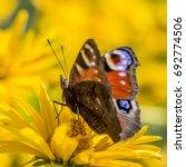 A European Peacock Butterfly ...