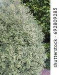 pittosporum tenuifolium silver...   Shutterstock . vector #692809285
