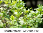 Small photo of Alyxia reinwardtii , green leaves on tree ,have property medicine.