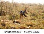 black backed jackal in the wild | Shutterstock . vector #692912332