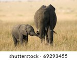 loving elephant mother and calf | Shutterstock . vector #69293455