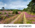 heather in bloom on heathland... | Shutterstock . vector #692958595