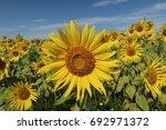 sunflower field in sunny day | Shutterstock . vector #692971372