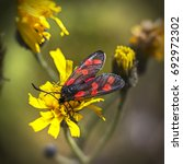 Small photo of Burnet moth (Zygaena purpuralis) on yellow flower in summer. A family of Lepidoptera. About 1,000 species.