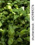 fresh basil in the garden   Shutterstock . vector #692989276