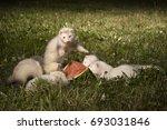 Ferret Baby Group In Summer...