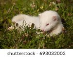 Six Weeks Old Ferret Baby In...