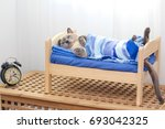 Stock photo a siamese cat lying on a wooden bed covered with a blanket with clock 693042325