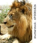 Small photo of lion male with mane
