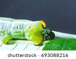closeup feces green worm on... | Shutterstock . vector #693088216