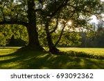 old big tree   in the summer... | Shutterstock . vector #693092362
