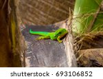 lizard on palm leaves tropical... | Shutterstock . vector #693106852