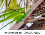 lizard on palm leaves tropical... | Shutterstock . vector #693107002