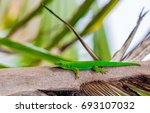 lizard on palm leaves tropical... | Shutterstock . vector #693107032