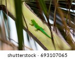 lizard on palm leaves tropical... | Shutterstock . vector #693107065