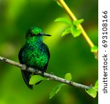 Small photo of Resting Emerald Humming bird. Photographed on the Caribbean island of Bonaire, the Emerald Hummingbird is aptly named: It's feathers are iridescent! Nice blurred bokeh background.