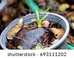 cerbera odollam or suiside tree ... | Shutterstock . vector #693111202