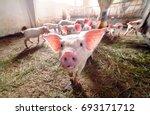pigs on a farm | Shutterstock . vector #693171712