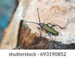 longhorn beetle on pine tree... | Shutterstock . vector #693190852