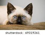 Stock photo siamese kitten 69319261