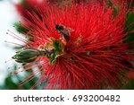 Bottlebrush   Red Fluffy Bush...